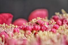 L'intruso (Luc1659) Tags: macro dettagli fiore rosso insetto ortensia