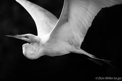 Great White in Flight (DonMiller_ToGo) Tags: blackandwhite bw nature birds outdoors blackwhite florida wildlife nik birdwatching bwphotography rookery bif blackandwhitephotography greatwhiteegret venicerookery d5500