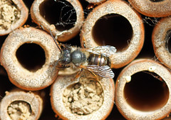 Blue Mason Bee? (RiverCrouchWalker) Tags: garden insect spring south may bee essex invertebrate 2016 woodham ferrers insecthotel