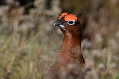 Red. (stonefaction) Tags: red nature birds scotland angus wildlife grouse glens