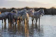 40080874 (wolfgangkaehler) Tags: sunset horse france water french europe european wetlands marsh herd marshland wetland eveninglight camargue southernfrance marshlands 2016 camarguehorses