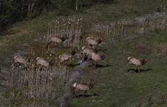 Wapiti (J Gilbert) Tags: mammal jump pennsylvania hill run elk herd wapiti winslow benezette cervuscanadensis
