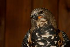 buzzard at Warwick Castle (Matt Burke) Tags: castle buzzard warwick