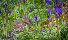 Bunny in Bluebells (Danny Gibson) Tags: blue rabbit bunny bluebells rabbits