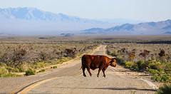 Big Range (wyojones) Tags: california face cow cattle horns preserve bovine grazing controversy mojavedesert holeinthewall mojavenationalpreserve nationalparksystem