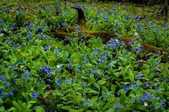 Blue notes (mike frank 31) Tags: blue ohio green nature bells forest moss spring mohican