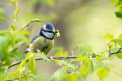La chenille verte (Jacques GUILLE) Tags: bird 31 oiseau hautegaronne cyanistescaeruleus msangebleue labege eurasianbluetit prdation passriformes parids