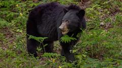 American Black Bear (Ursus americanus) (ER Post) Tags: bear wild mammal was trips americanblackbearursusamericanus greatsmokymountainstripspring2016