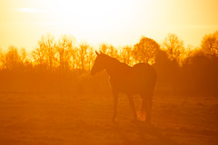 Horse at sunrise in Fayette County, KY (oliverstarks) Tags: horses silhouette rural sunrise kentucky