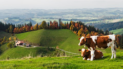 Auf der Lderenalp (bolliger51) Tags: schweiz kuh rind weide bern che landschaft wald ausblick emmental fleckvieh vieh rindvieh simmentaler langnauimemmental schweizerfleckvieh tllihttli tllihttli