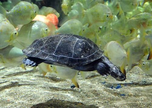 Greater Cleveland Aquarium 01-22-2015 - Unknown Asian Turtle 3