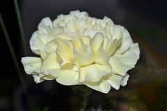 Carnation (hcorper) Tags: closeup bokeh indoor carnation 100flowers nikond3100
