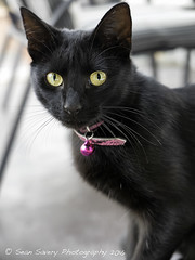 Raven (Sean Savery Photography) Tags: pet cute cat blackcat outdoors lumix eyes bell cheeky panasonic whiskers collar compact compactcamera oneanimal domesticanimal animalthemes microfourthirds dmclx100