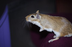 gerbillo (conforti.pietro) Tags: animals gerbil rodents animale gerbillo