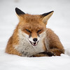 fox (ohnede) Tags: winter snow animal square wildlife teeth fox winner grin matchpoint t499