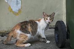 160222 - Calico (y_leong23) Tags: cat singapore dlux