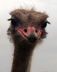 Ostrich (Struthio camelus) portrait (shadowshador) Tags: life portrait wildlife aves ostrich biology tetrapod ornithology animalia scientific taxonomy classification tetrapods struthioniformes chordata bilateria deuterostomia vertebrata gnathostomata tetrapoda amniota diapsida archosauromorpha archosauria neornithes struthio camelus eukaryota struthionidae eumetazoa palaeognathae opisthokonta neomura holozoa filozoa