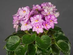 P1312395_DxO (Vladimir V. Samoylov) Tags: flowers african violet olympus 100mm africanviolet omd saintpaulia 100mmf28 m43 samyang micro43 43 microfourthirdsmicro43 em5markii samyang100mmf28edumcmacro