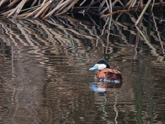 Ruddy Duck (forwardbirds) Tags: playadelrey breedingplumage ballonafreshwatermarsh ruddyduckoxyurajamaicensis rudu