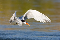 Elegant Tern (OC Birds) Tags: california bird nature animal wildlife elegant tern huntingtonbeach bolsachica