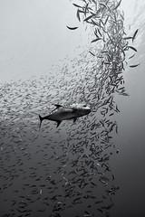 FLA-160116-ND800-6759-bw_selenium (ferlopez) Tags: usa fish jack underwater fishbowl marinelife mauihawaii gianttrevally mackerelscad caranxignobilis opelu decapterusmacarellus uluaaukea