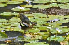 Cuidado!! (Mrcia Valle) Tags: summer brazil minasgerais bird water gua brasil pond nikon ave vero lagoa frangodgua brazilianbird plantasaquticas faunabrasileira brazilianfauna d5100 mrciavalle juizdegora