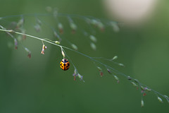 Coccinelle (Thierry Baboulenne) Tags: coccinelle insectef