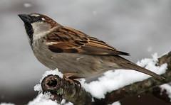 Looking Up (Family Man Studios) Tags: winter snow nature birds canon cardinal wildlife sparrow delaware newark newarkdelaware backyardbirds 70d winterscenery delawareonline dougholveck