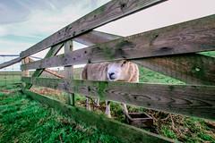 Schaap (MJ Klaver) Tags: fence sheep 1020 texel hek schaap sigma1020mm sigma1020mmf35exdchsm fencedfriday