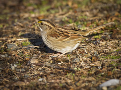 Savannah Sparrow - Edwin Forsythe (redforester) Tags: bird nature newjersey woods ground sparrow forsythe yellowfeathers anthonycedrone