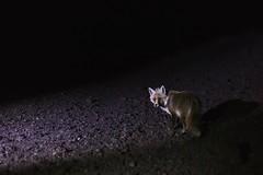 Fox (Sebastiano Runci) Tags: italy nature animal canon 50mm eyes bokeh natura 35mmfilm fox sicily etna highiso 6d volpe ungry silvestri crateri vsco vscocam