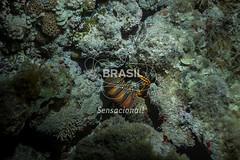 NE_Abrolhos0034 (Visit Brasil) Tags: horizontal brasil fauna natureza bahia nordeste detalhe externa abrolhos semgente subaqutica diurna
