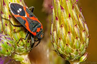 Small Milkweed Bug On Giant Thistle