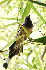 KV4A0914 Rufous Treepie - Trskade - Dendrocitta vagabunda - Kerala - Indien - Our Land (Thanks for visit Soes' photo from the lovely natur) Tags: india birds kerala indien alappuzha fugle solveigsterschrder rufoustreepietrskadedendrocittavagabunda