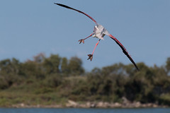 Flamingo (Dekai97) Tags: france bird flamingo flight 300 tamron 70 vc usd bif camargue phoenicopterus roseus rosaflamingo