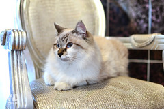 Beautiful Persian Cat (WDnet) Tags: wallpaper pet white cute eye beautiful face animal loving cat silver studio fur one persian eyes feline pretty looking front chinchilla domestic kit breed puss luxury shaded purebred classicchair d3100