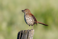 Brown thrasher (Phiddy1) Tags: ontario canada birds thrasher brownthrasher cardenalvar