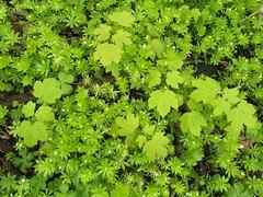 jastrzebia gora spring green (kexi) Tags: green spring many small may samsung poland polska foliage polen polonia pomerania pologne 2015 instantfave jastrzebiagora wb690