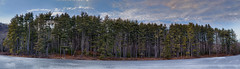 Stand of pine trees panorama (ronnymariano) Tags: winter panorama newyork us unitedstates harriman pinetrees hdr 2016