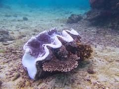 Giant Clam 3 (someofmypics) Tags: vacation philippines bikini manila scubadiving wickedweasel ikelite panasonictz60