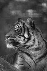 Sumatran tiger (mellting) Tags: blackandwhite bw monochrome animal mammal zoo nikon flickr sweden tiger bigcat sverige sumatrantiger eskilstuna platser sumatratiger parkenzoo pantheratigrissumatrae 500px djurparker bloggad nikond7000 mellting instagram matsellting sigma1506005063sport
