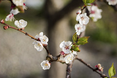 Apricot blossom (Nuria Ocaa) Tags: morning flowers light tree nature beautiful spring blossom bokeh sunday apricot costabrava springtime altemporda emporda apricotflower apricottree apricotblossom 60d 50dd