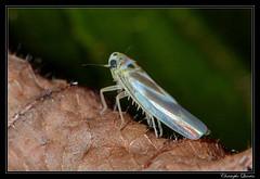 Arboridia sp. (Arboridia ribauti ?) (cquintin) Tags: arthropoda homoptera cicadellidae arboridia ribauti