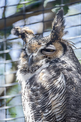 Brian_Great Horned Owl 1 LG_Before FX_032316_2D (starg82343) Tags: wild bird nature wildlife maryland owl 2d greathornedowl downspark brianwallace pasadenamd