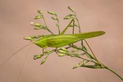 Large Conehead (Day_vid) Tags: macro canon eos is spain mark iii large cricket 5d grasshopper usm katydid orthoptera conehead f28l ef100mm ruspolia nitidula