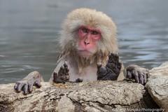 Monkey Spa (fascinationwildlife) Tags: winter wild mountain snow hot nature animal japan mammal japanese monkey spring bath asia wildlife natur affe jigokudani macaque schneeaffe makkake