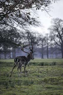 Belton's Fallow Deer