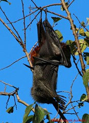 A flying fox (marek91) Tags: nature outside reisen outdoor natur australia natura outback australien traveling flyingfox natures flughund drausen marek91 eos700d