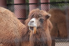 camel sticking tongue out (theharv58) Tags: camels torontozoo bactriancamel torontocanada canon60d twohumpedcamels canonef50mmf18iilens canoneos60d canonefs18200mm13556islens