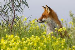 Fox at Greenfields Wetlands SA (danny.mccreadie2) Tags: fox wetlands sa greenfields